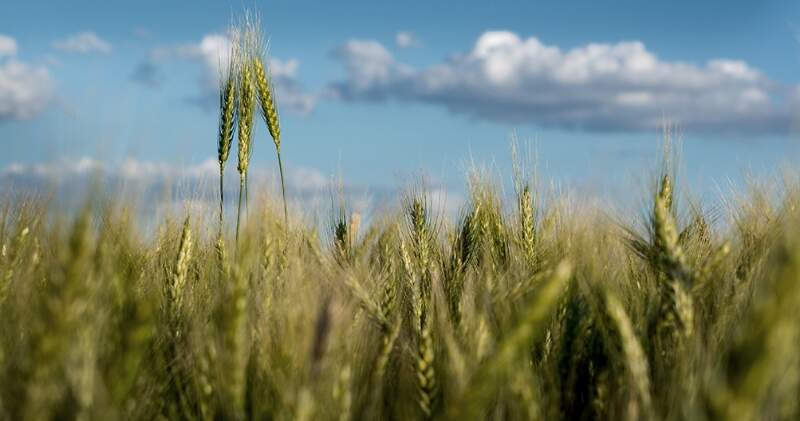 """""""Si bien el trigo tiene mejores precios que el año pasado, ha perdido competitividad respecto a las otras opciones"""", explicó Agustín Tejeda Rodríguez."""