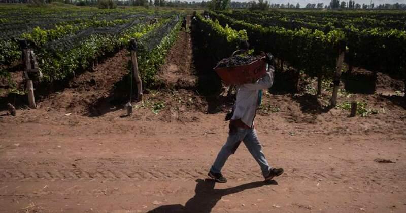 Pese a su longevidad, tienen un rendimiento promedio de entre 80 y 100 quintales por hectárea. Pertenecen a una familia que vende buena parte de las uvas y elaboran vinos de autor.