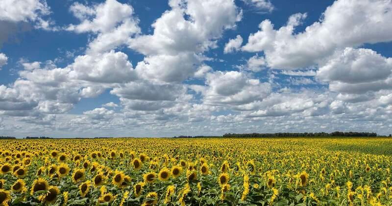 La cosecha de la oleaginosa fue la más baja de los últimos siete años debido a la reducción del área sembrada: obtuvo un rinde promedio de 21,6 quintales por hectárea.
