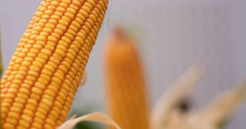 El maíz saltó hasta US$271,15, el trigo se ubicó en US$254,82 y la soja llegó a US$568,98.