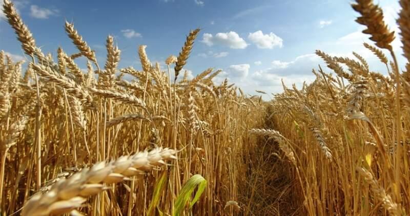 El trigo superaría las 20 millones de toneladas en la presente campaña