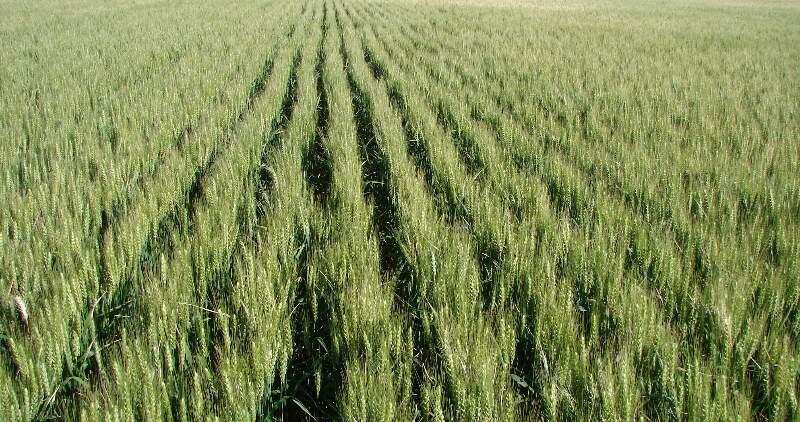 El 75% del trigo está en muy buenas condiciones, casi 1,3 millones de hectáreas en la región núcleo se clasifican entre excelentes y muy buenas condiciones