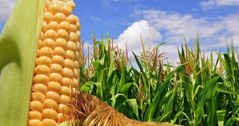 Las gramíneas, en particular el maíz y el trigo, volverán a aumentar su participación en la producción de granos a nivel nacional