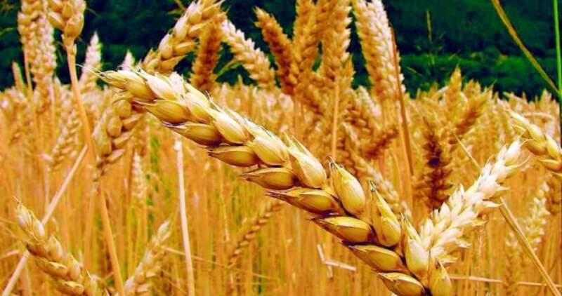Las precipitaciones de los últimos días ayudaron a recomponer los perfiles de humedad del cereal y revirtieron el déficit hídrico que afectaba al cultivo