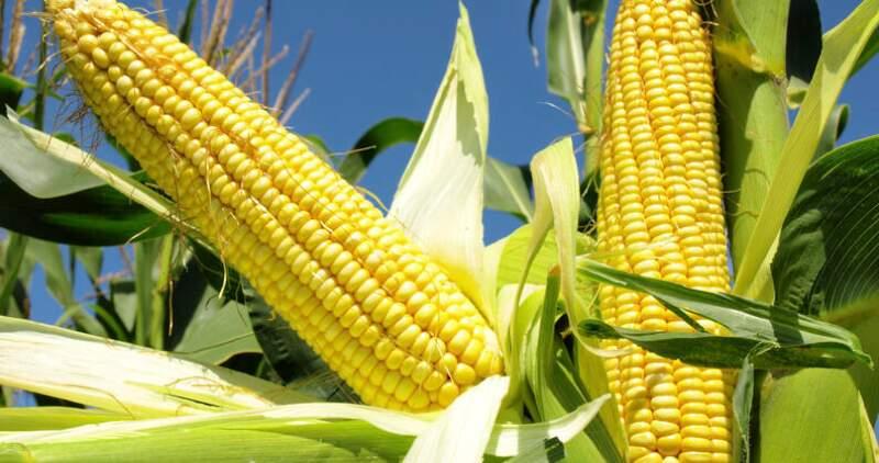 XVI jornada técnica de maíz