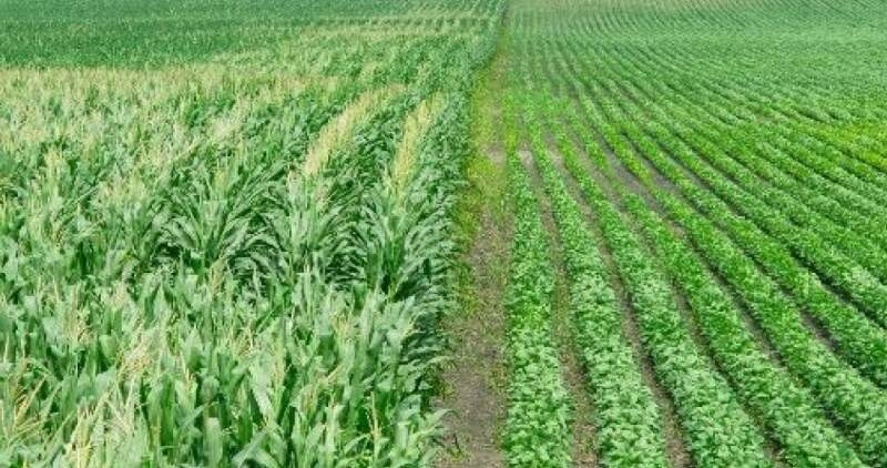 Buscan reducir el impacto del clima en cultivos de verano