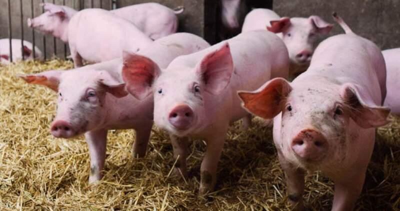 Crece la producción y exportación de carne de cerdo
