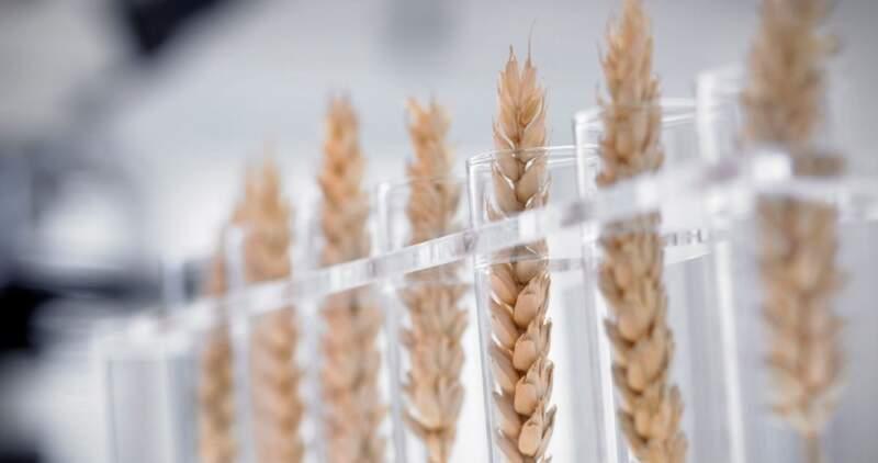 Este trigo es resistente al glufosinato de amonio, un herbicida mucho más tóxico que el glifosato y que está prohibido en la Unión Europea para su uso agrícola